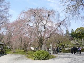 二条城の桜1