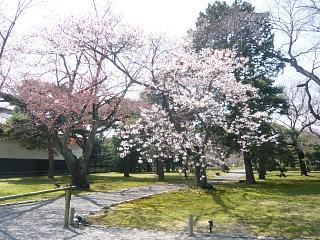 二条城の桜2