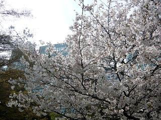 浜離宮(桜1)