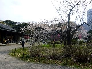 浜離宮(桜3)