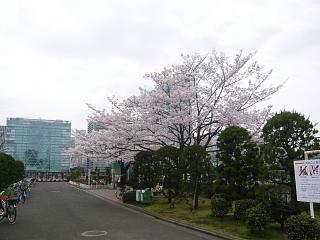 中央公園(桜1)