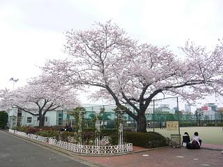 中央公園(桜2)