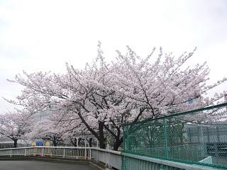 中央公園(桜3)