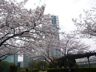 中央公園(桜6)