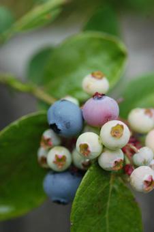 blueberry2009621-1.jpg