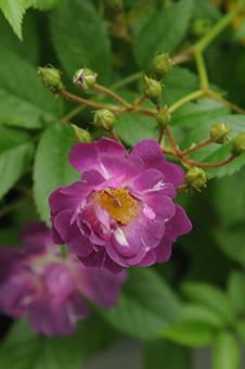bluerambler2009512-4a.jpg
