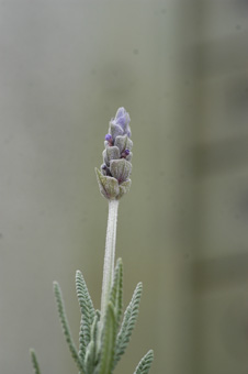 lavender2009123-1.jpg