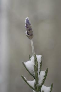 lavender2009124-1.jpg