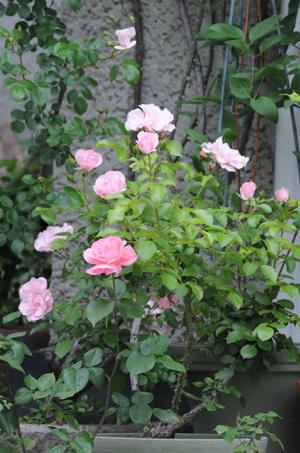 rosendolf2009516.jpg