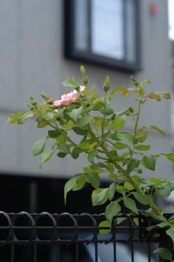 rosendorf2008822.jpg