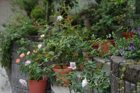 roses2008828.jpg