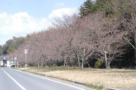 sakura2009325-1a.jpg