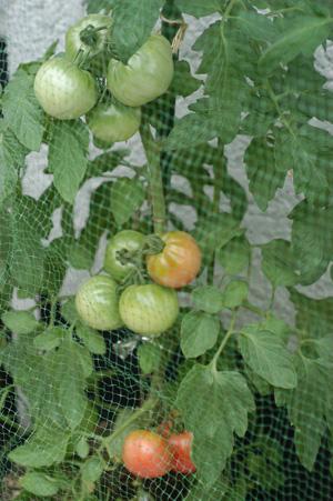 tomato1_2009627-2.jpg