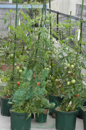 tomato1_2009627.jpg