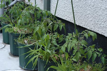 tomato2009428-1.jpg