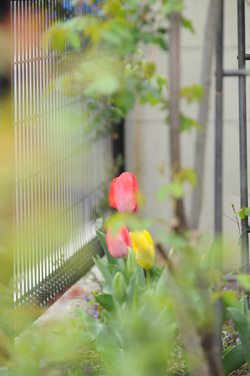 tulip2009405-2.jpg