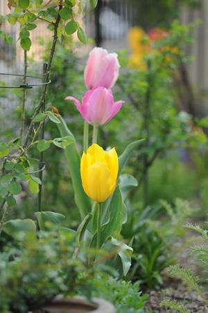 tulip2009411-2.jpg