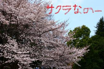 桜が満開なのだ!1