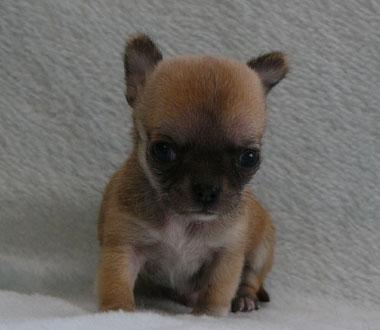 スムースコートチワワ子犬