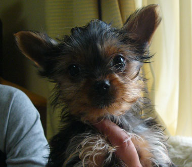 ヨークシャーテリア子犬