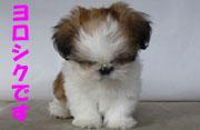 シーズー子犬