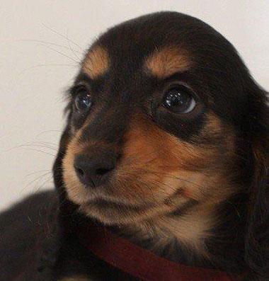 カニンヘンダックス子犬