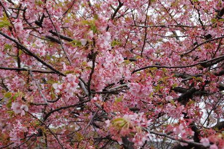 20090301kawazu2.jpg