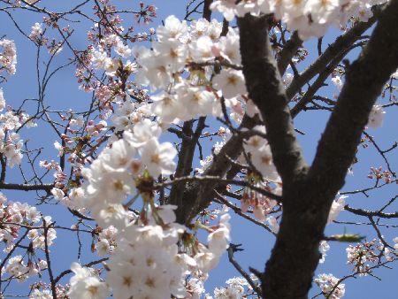 20090403sakura.jpg