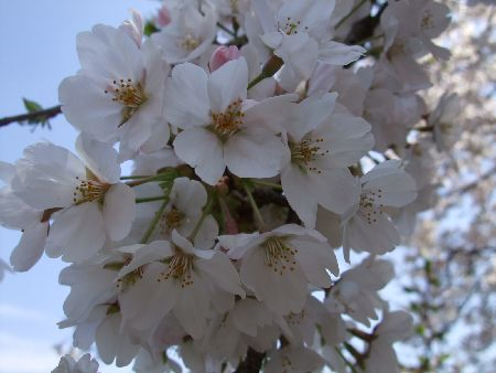20090403sakura3.jpg