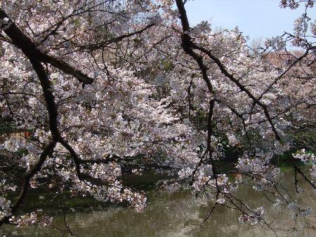 20090403sakura4.jpg