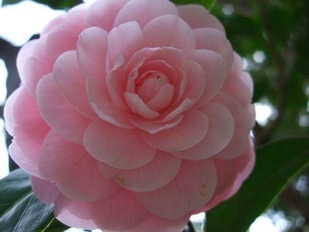 20090403tsubaki.jpg