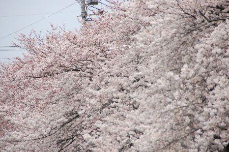20090404sakura.jpg