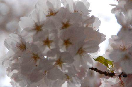 20090404sakura2.jpg