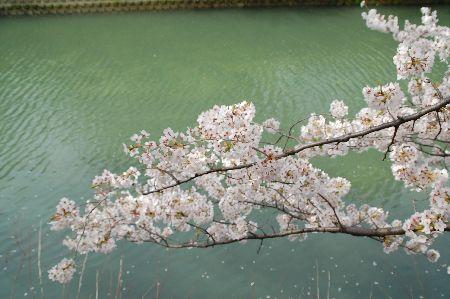 20090404sakura4.jpg