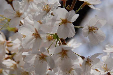 20090404sakura5.jpg