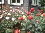 旧古河庭園バラ2
