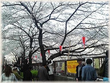 目黒川沿いの桜