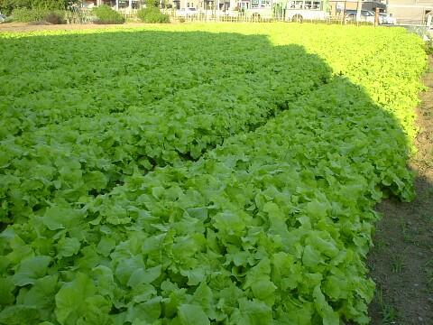 江戸川区の畑