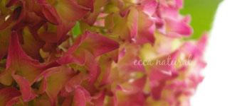 チャービル&紫陽花2