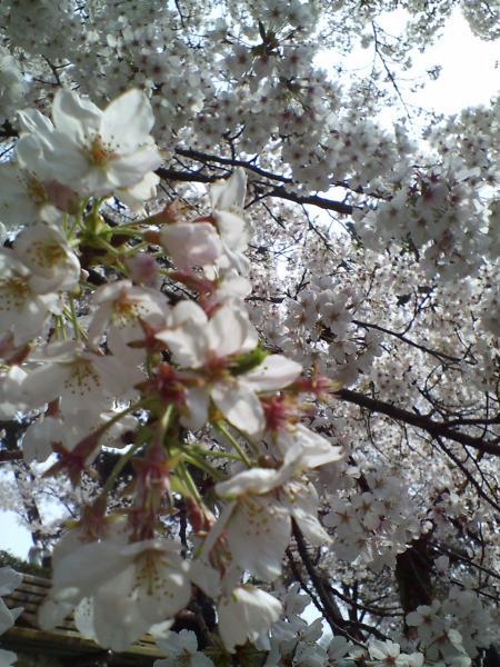 桜アップ2009.04.05