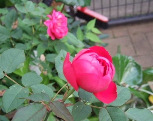 薔薇の花10