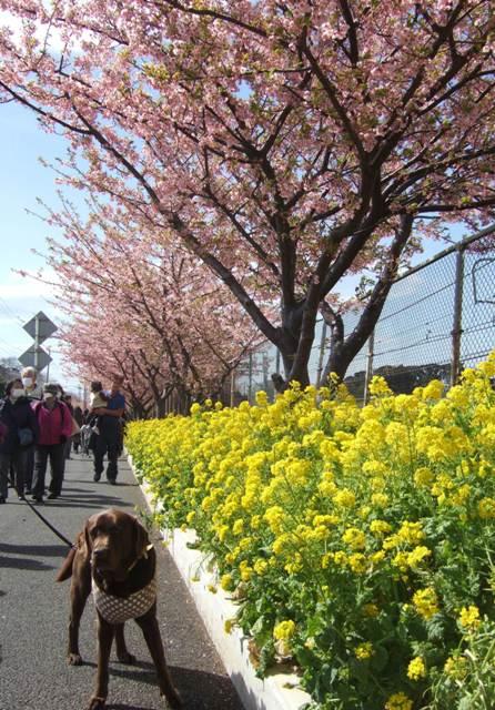 菜の花と河津桜とちぇる