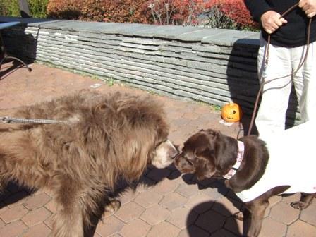 ニューファンドランド犬と
