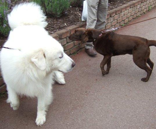 ピレネー犬と