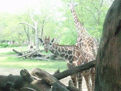 s-giraffe2.jpg