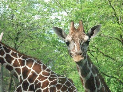 s-giraffe3.jpg