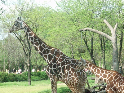 s-giraffe4.jpg
