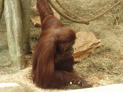 s-orangutan.jpg