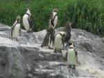 ペンギンを見ていると癒されてくるから不思議である。
