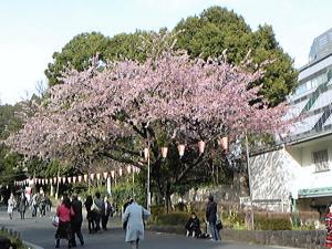 100317上野の桜